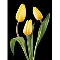 image of Tulips sympathy greeting card